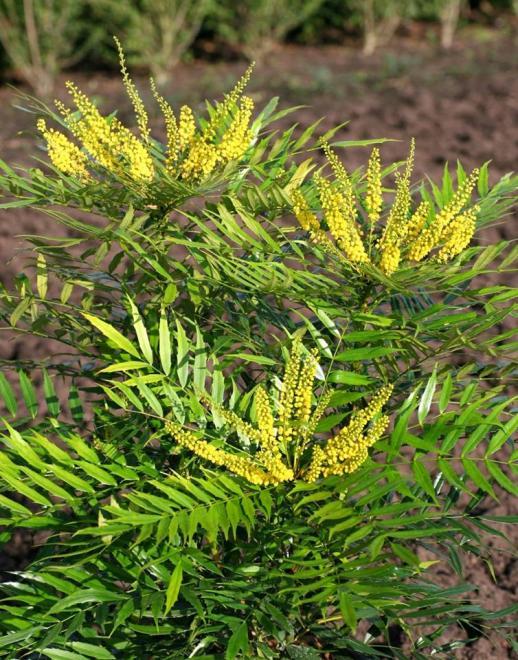 Mahonia hybrida magical winterfern