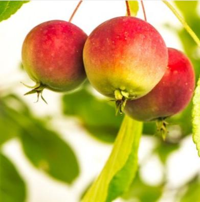 Malus sieversii apples photo pflanzmich de