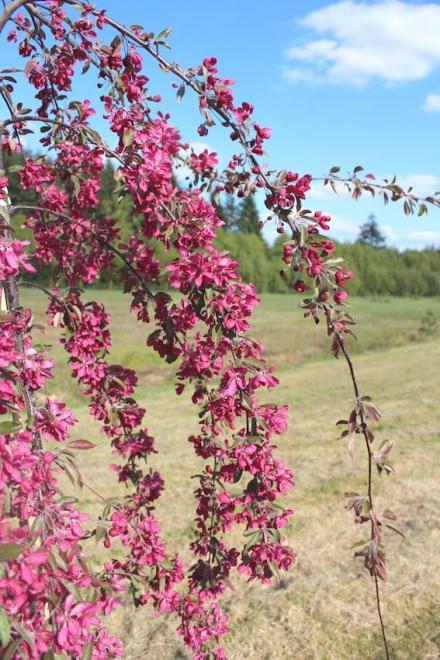Malus x purpurea crimson cascade rhs