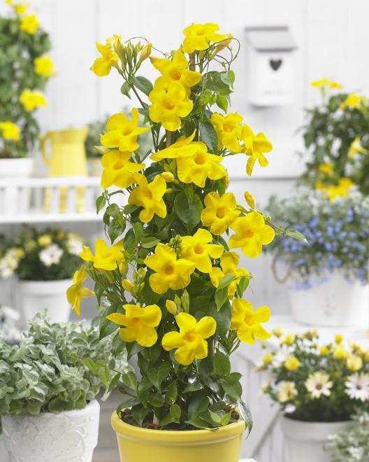 Mandevilla bbyel bloom bells yellow photo de zonnebloem
