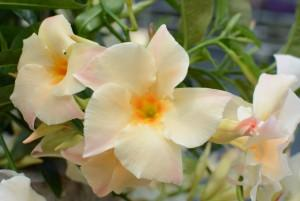 Mandevilla sun parasol apricot photo sun fire nurseries 300x201