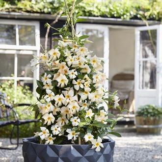 Mandevilla sundaville apricot suntory mnp flowers sv