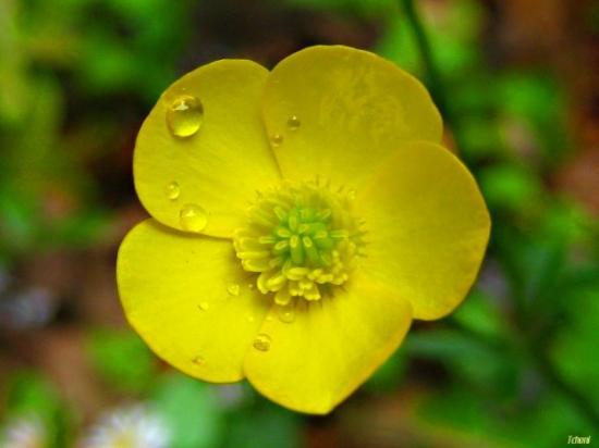 med-bouton-d-or-visoflora-3368.jpg