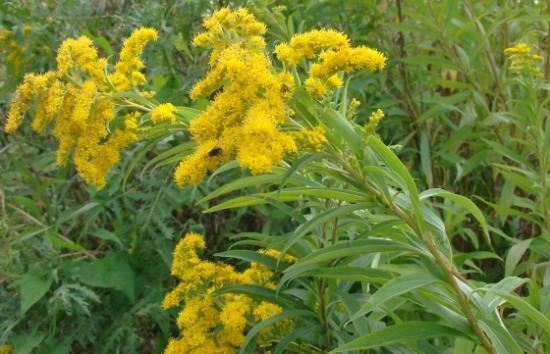 med-solidage-verge-d-or-visoflora-15576.jpg