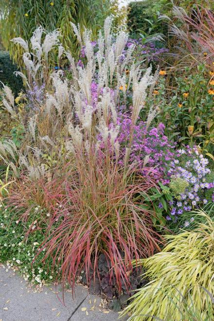 Miscanthus sinensis little miss