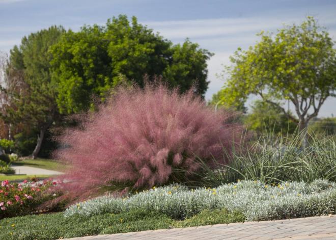 Muhlenbergia capillaris plumetastic 1 jpg