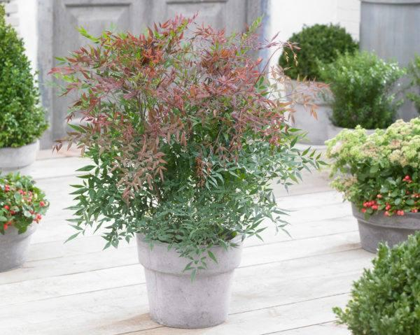 Nandina domestica summer sunset2