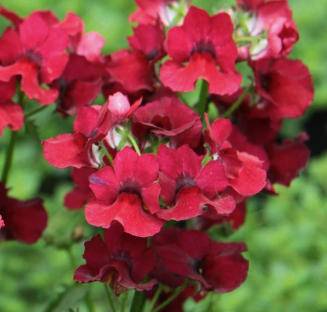 Nemesia lyric deep red
