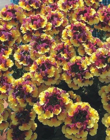 Nemesia penhow sunglow yellow bicolor