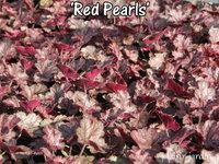 Ob c50e5f heuchera red pearls 2
