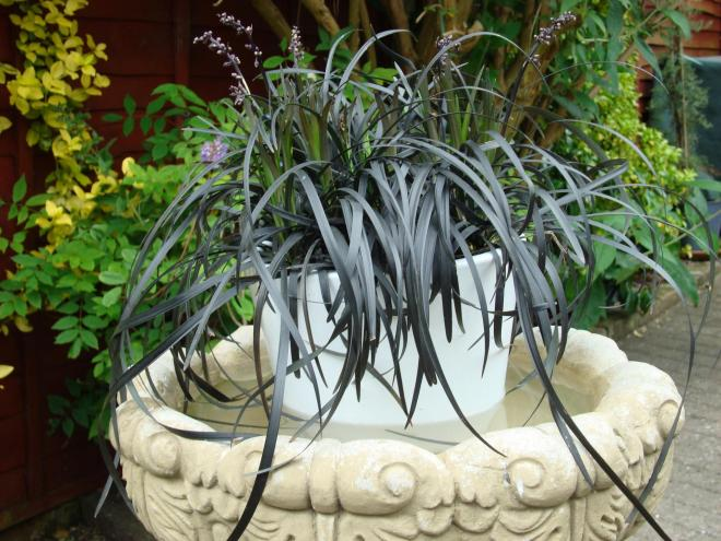 Ophiopogon yapard u2019 black beard photo concept plants