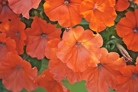 Orangepetunia