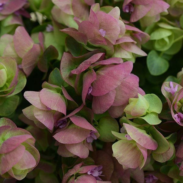 Origanum kirigami photo panamerican seed