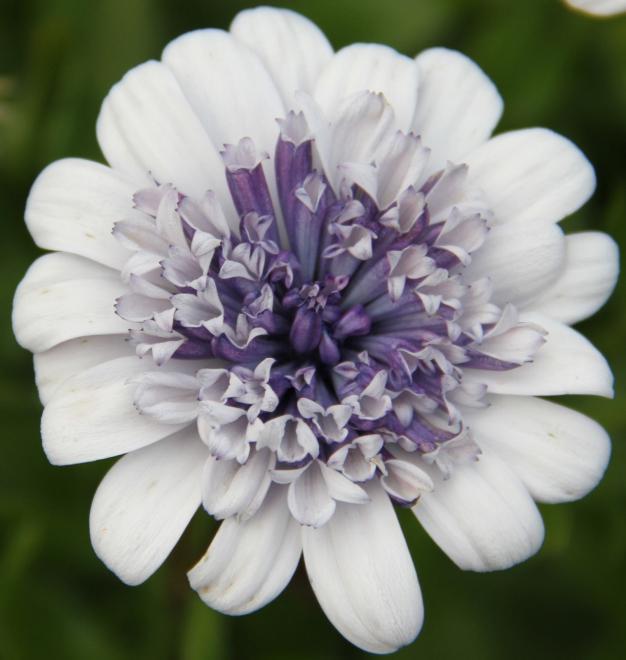 Osteospermum double ice blue