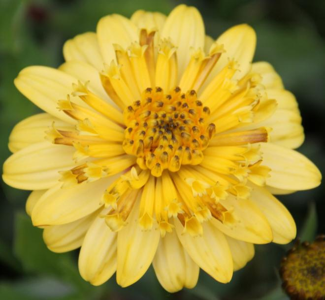 Osteospermum double yellow
