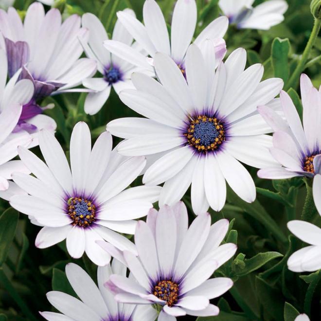 Osteospermum soprano white