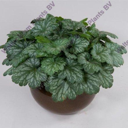 P heuchera kira evergreen forest