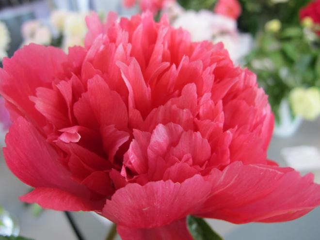 Paeonia lorelei photo cnb