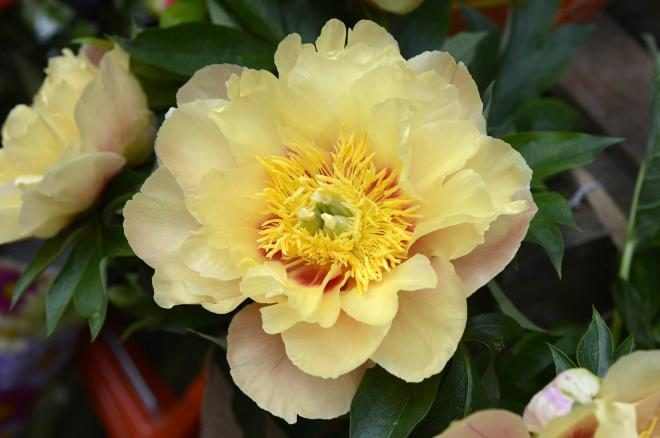 Paeonia prairie charm photo cnb