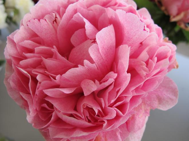 Paeonia the fawn photo cnb