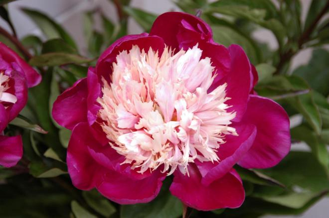Paeonia white cap one of the new varieties which will be presented at the dutch peony weeks photo cnb