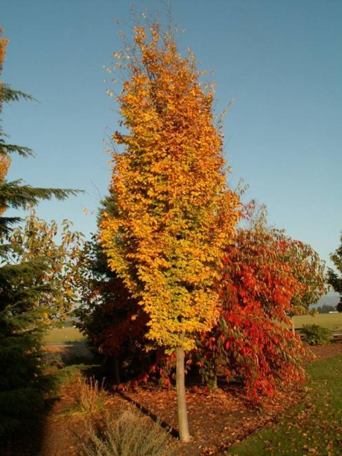 Parrotia persica golden belltower