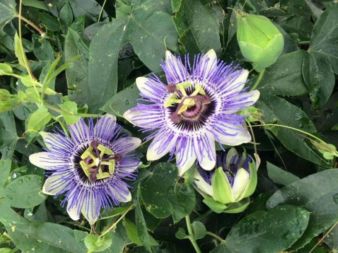Passiflora caerulea duuk 2