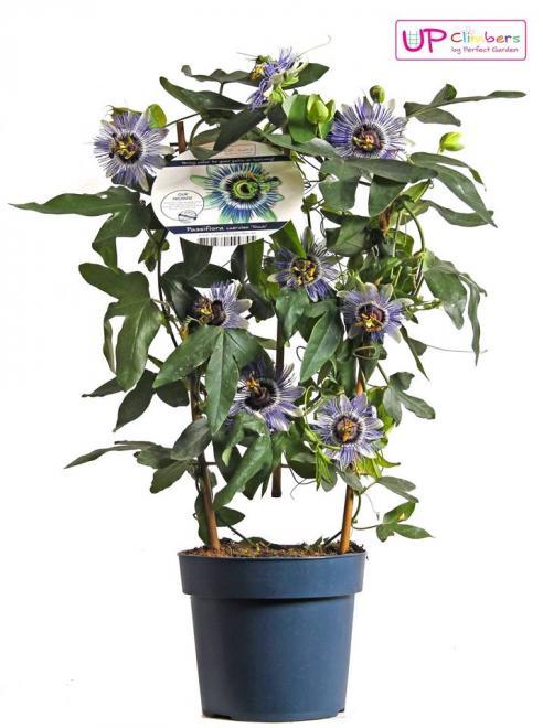 Passiflora caerulea duuk