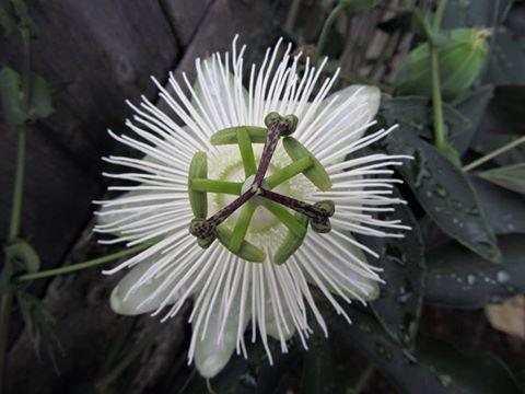 Passiflora riverside snow queen