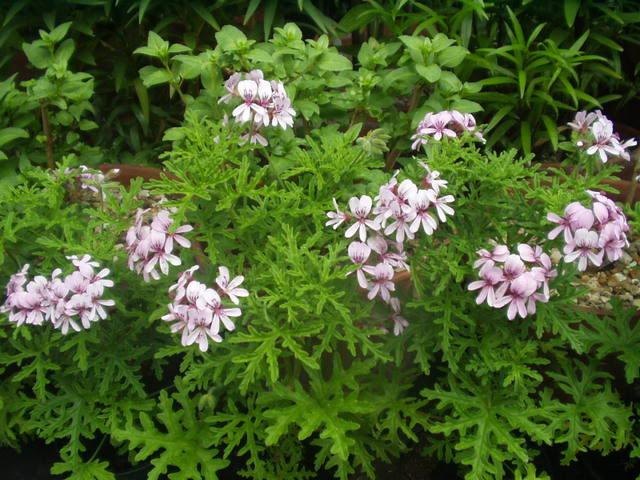 Pelargonium candy dancer