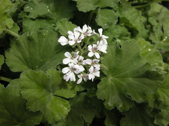 Pelargonium cook s apple cider