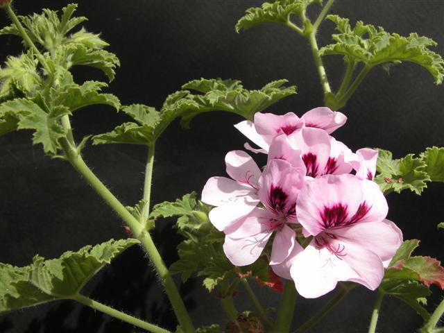 Pelargonium copthorne