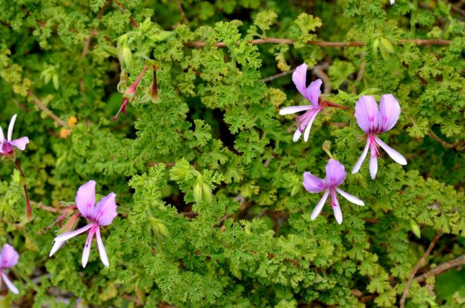 Pelargonium crispum major