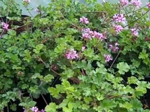 Pelargonium deerwood lavender 2
