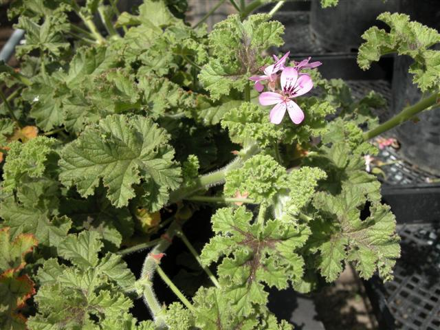Pelargonium endsleigh