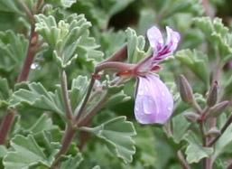 Pelargonium exstipulatum2