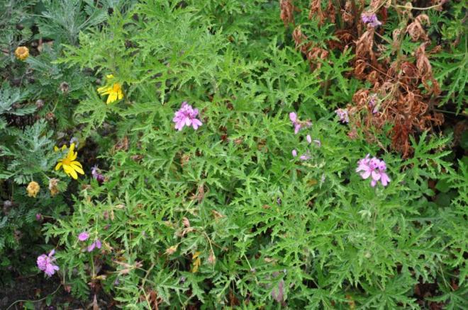 Pelargonium glutinosum 7