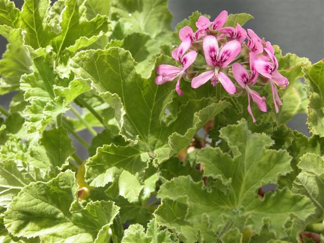 Pelargonium godfrey s pride