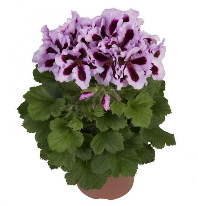 Pelargonium grandiflorum regal patricia photo hendrik young plants