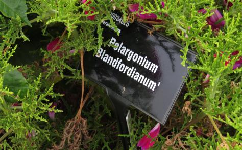 Pelargonium label blandfordianum garnons williams
