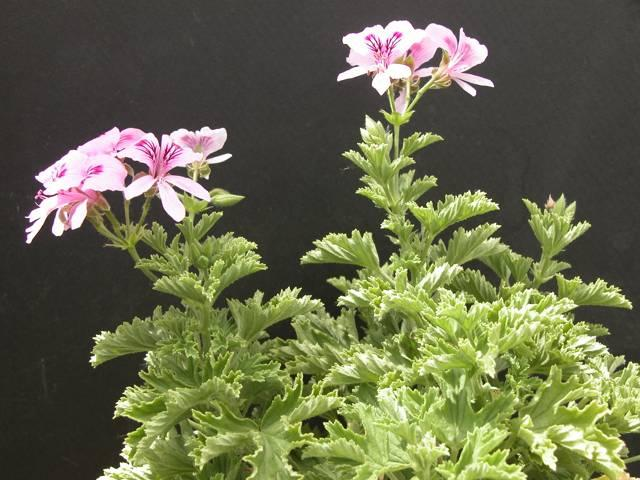 Pelargonium lemon fancy