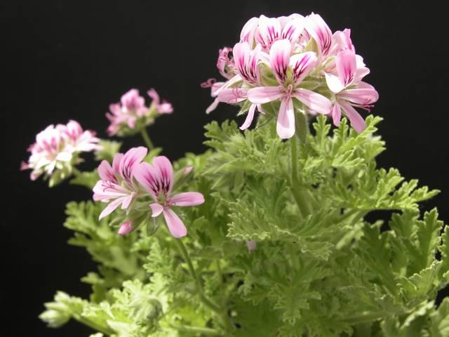 Pelargonium little gem