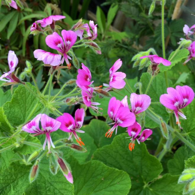 Pelargonium papilionaceum