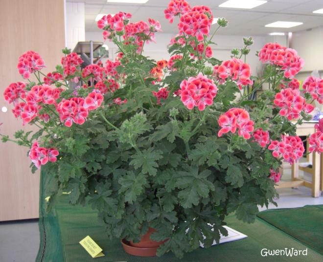 Pelargonium paton s unique