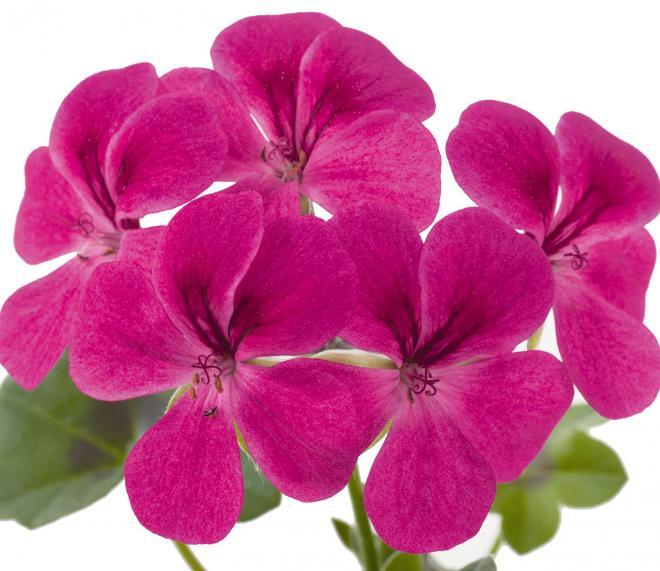 Pelargonium peltatum gerainbow pink