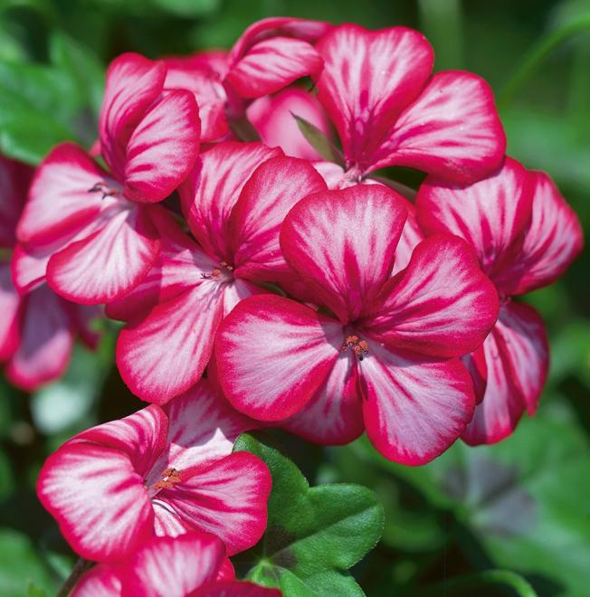 Pelargonium peltatum gerainbow purple bicolour