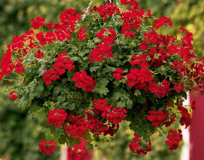 Pelargonium peltatum gerainbow red