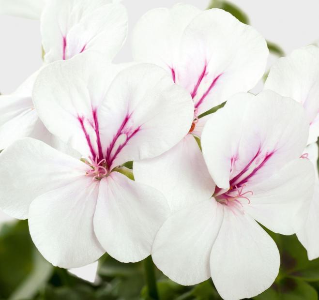Pelargonium peltatum gerainbow white