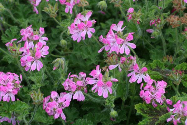 Pelargonium pink capricorn