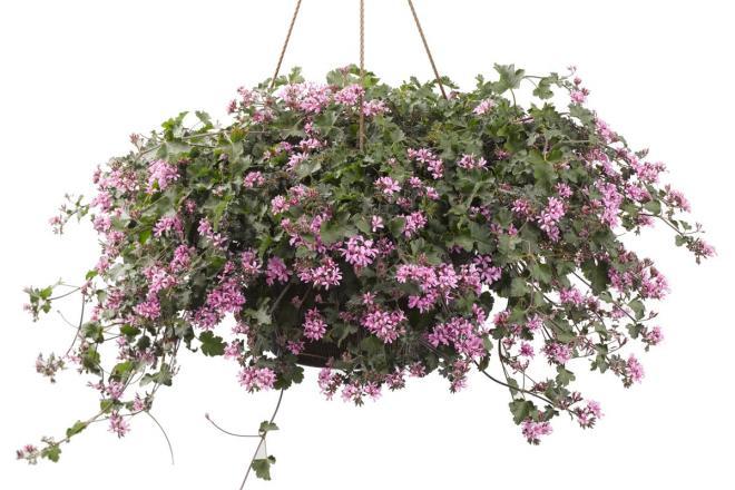 Pelargonium pinky pinks